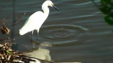 Egret Catching Fish — Stockvideo