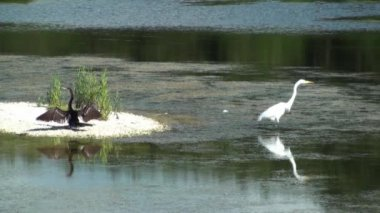 Anhinga and Egret with Egret flying off at end — Stock Video