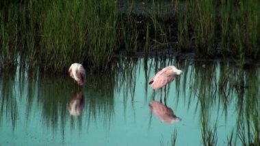 Two beautiful Spoonbills in shallow water — Stockvideo