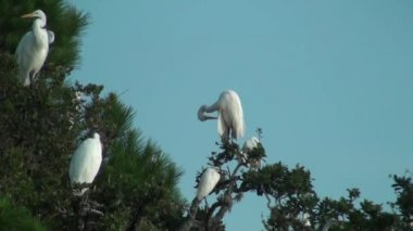 Egrets in the trees preening — Stock Video