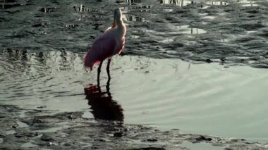 Roseate Spoonbill — Stock Video