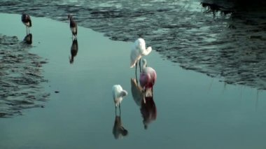 Spoonbill Egrets and other birds preening — Video Stock