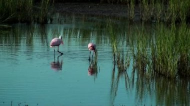 Two Spoonbills searching for food — Video Stock