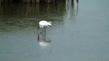 Wood Stork looking for food — Stock Video