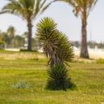 Baby palmträd växer — Stockfoto