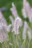 Beach Grass — Stock Photo
