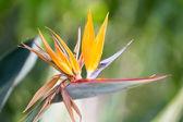 Strelitzia reginae — Stock Photo