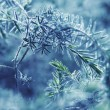 Photo: Blue fir-tree