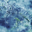 图库照片: Blue fir-tree