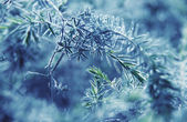Blue fir-tree — Stock Photo