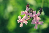 Macro pink flowers on green background — Stock Photo