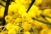 Closeup of yellow acacia (mimosa) trees on the nature — Stock Photo