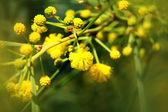 Closeup of yellow acacia (mimosa) trees on the nature — Photo