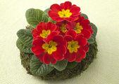 Live primrose in a decorative wreath — Stock Photo