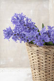 Bouquet of purple hyacinths — Stock Photo