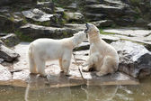 Two polar bears playing in the spring — Stock Photo