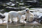 Два белых медведя, играя на весну — Стоковое фото