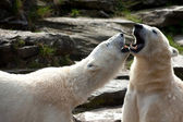 Due orsi polari, giocando in primavera — Foto Stock