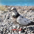 Gray pigeon on the stones — Stock Photo