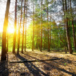 Dawn in a pine forest — Stock Photo #29280781