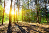 Dawn in a pine forest — Stock Photo