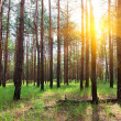Sunrise in a pine forest — Stock Photo