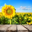 Table and field of sunflowers — Stock Photo