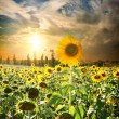 Sunset over sunflowers — Stock Photo