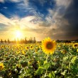 Sun and sunflowers — Stock Photo