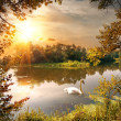 Swan on the pond — Stock Photo
