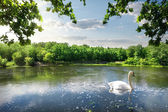 Nehirde kuğu — Stok fotoğraf
