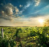 Green grape field — 图库照片