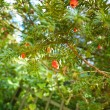 Green yew sprig - Stock Photo