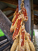 Dry corn cobs — Stock Photo