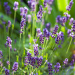 Stock Photo: Lavender herb blooming