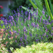Stock Photo: Lavender in frontage garden