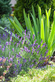 Fresh lavender plants — Stock Photo