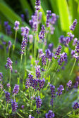 Lavender herb blooming — Stock Photo