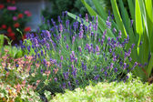 Lavender in the frontage garden — Stock Photo