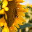 Bee and sunflower — Stock Photo