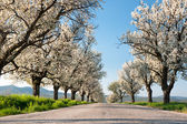 Line of cherry trees — Stock Photo
