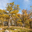 Autumn oak forest — Stock Photo