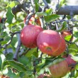 Apples on twig — Stock Photo #35091927