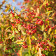 Stock Photo: Spindle tree