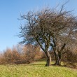 Branched trees — Stock Photo