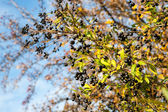 Ligustrum vulgare — Stock Photo