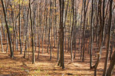 Carpathian deciduous forest — Stockfoto