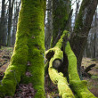 Stock Photo: Mossy trees