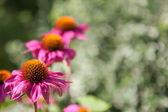 Blooming echinacea flowers — Stock Photo
