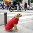 Stock Photo: Dog waiting in street June 2
